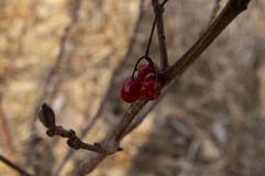 Red berry on a tree branch in the sun royalty free stock image