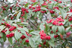 Red berry tree, Cotoneaster Cornubia. Cornubia is a large semi-evergreen shrub to 6m, rounded and compact in growth, with elliptic, dark green leaves to 12cm in stock photography