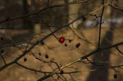 Red berry on a tree in the winter forest royalty free stock photo