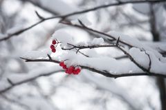 Red berry under the snow. Branch with red berries, covered with snow on a cloudy day Stock Photos