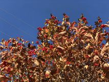 Red berry viburnum on an autumn tree against the blue sky bright Sunny day stock photo