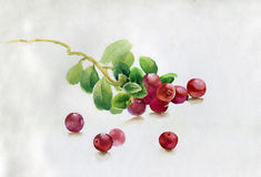 Red berry, watercolor illustration Stock Images