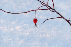 Red berry of the wild rose leaves on branch in snow in sunset ligh Stock Photo
