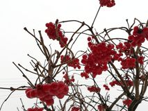 Red berry. Winter berries on the branch Stock Photography