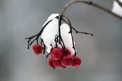 Red berry royalty free stock images