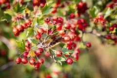 Red berryes on hawthron twig Stock Photography