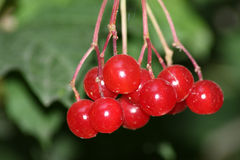 Red berrys Stock Photo