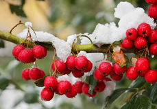 Red berrys on the branch. Royalty Free Stock Photos
