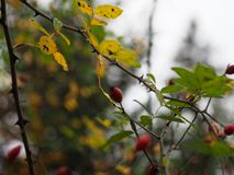 Red berrys on a branch with thorns royalty free stock photo