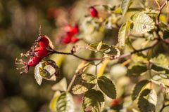 A red berrys hanging of a plant. yellow red green colours. stock photography