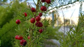 Red berrys in israeli park. Red berrys in green leafs Stock Photography