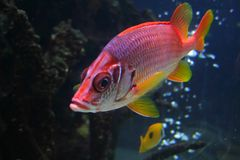 Red Beta Fish Royalty Free Stock Photography