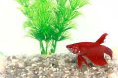 Red Beta Fish In A Small Fish Bowl