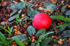 Red Betel Royalty Free Stock Photography