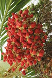 red betel nut Royalty Free Stock Photos
