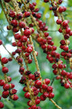 Red betel nut. A strand red betel nut Stock Photo
