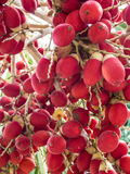 Red Betel Nut Stock Photos
