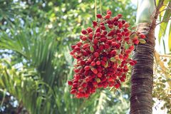 Red betel nut on palm tree. Red betel nut on palm tree for decorate garden Royalty Free Stock Photography