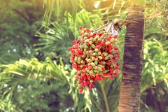 Red betel nut on palm tree. Red betel nut on palm tree for decorate garden Stock Images