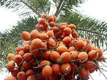 Red betel palm. On tree royalty free stock photography