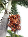 Red betel palm on tree. More red betel palm on tree royalty free stock image