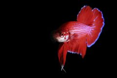Red Betta Royalty Free Stock Photography