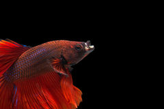 Red betta on black background Royalty Free Stock Photos