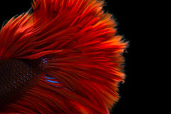 Red betta on black background Stock Photography