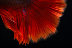 Red betta on black background Stock Photo