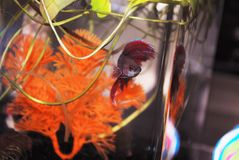 Red Betta Royalty Free Stock Photos