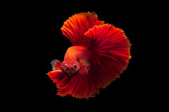 Red betta Royalty Free Stock Image