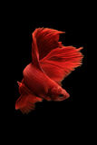 Red betta fish Royalty Free Stock Image