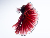 Red betta fish on white background Stock Photos