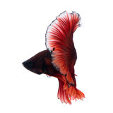 Red betta fish on white background Stock Images