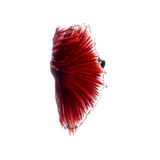 Red betta fish on white background Royalty Free Stock Photos