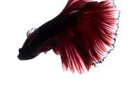 Red betta fish on white background Royalty Free Stock Photo