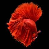 Red Betta Siamese fighting fish.