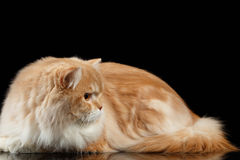 Red big adult persian Cat Angry Lies and turned right on black Stock Image