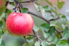 Red big apple on a branch with green leaves Royalty Free Stock Photos