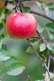 Red big apple on a branch with green leaves Stock Photos