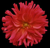 Red big flower, yellow center on a black  background isolated  with clipping path. Closeup. big shaggy  flower. for design Stock Images