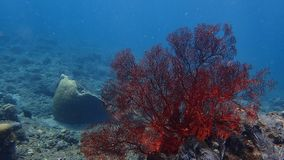 Gorgonian red the volcanic sand in amed, bali indonesia stock photo