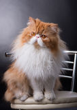 Red big persian cat costs on dark background. Adult red big persian cat costs on dark background Stock Photos