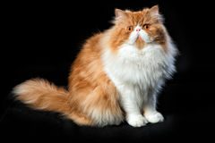 Red big persian cat costs on dark background. Red big adult persian cat costs on a black background Stock Photo