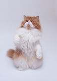 Red big persian cat costs on hinder legs. Red big adult persian cat costs on hinder legs stock photography