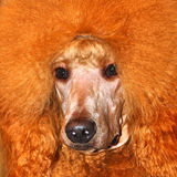 Red big poodle Royalty Free Stock Images