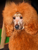 Red big poodle Stock Image