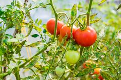 Red big tomatoes grow in the greenhouse stock photo