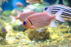Red-bigeye fish Stock Photo