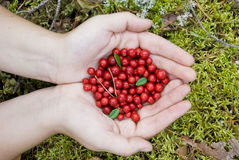 Red bilberries. Hands full of red bilberries Royalty Free Stock Photo